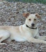 - Jack Russell/Lab