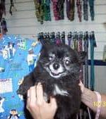 - Gracie was rescued by Robert & Lida Snively. She was originally thought to be a Chihuahua, because she had no hair. Now that her hair has grown back, it's obvious she is a petite Pomeranian.