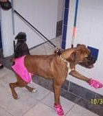 -Bella the Boxer, in her boxing costume, on Halloween day.