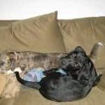- Dozer and Baylor hanging on the couch, paling around.